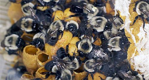bees-cu