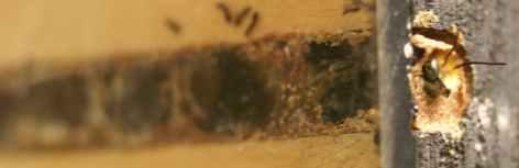Resonating Bodies - Hoplitis emerge spring