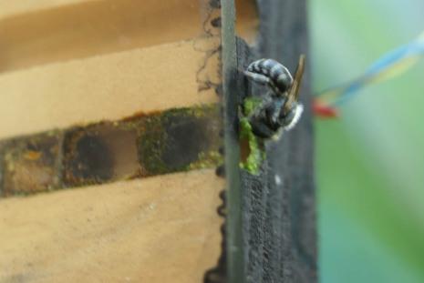 Resonating Bodies - Hoplitis nest making