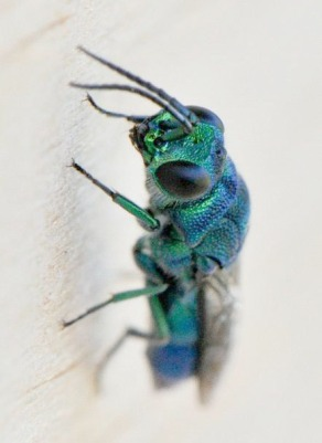Cuckoo wasp in the Family Chrysididae. Photo: Kevin Steele.