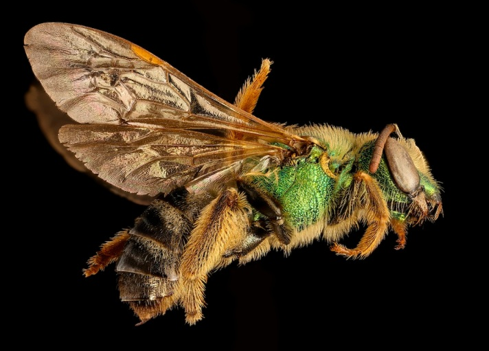 A virescens USGS